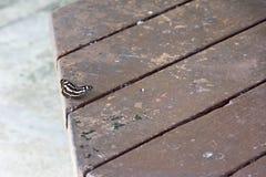 Ein einzelner lokalisierter Schmetterling, der auf einem Holztisch stillsteht lizenzfreies stockbild