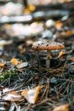 Ein einzelner Pilzpilz im Herbstlaub stockfotos