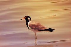 Ein einzelner Vogel, der in der Oberfläche des See Als-Kudra, Dubai am 28. Juni 2017 steht Lizenzfreie Stockfotos