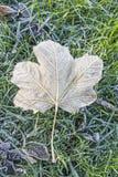 Ein einzelnes gefrorenes Blatt auf gefrorenem Wintergras Stockfotografie