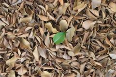 Ein einzelnes grünes Blatt über trockenen Blättern Lizenzfreies Stockbild