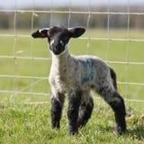 Ein einzelnes Lamm, das im Frühjahr in einer Rasenfläche steht Stockbild