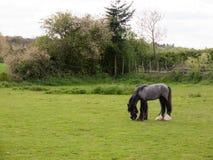 Ein einzelnes Pferd auf einem Gebiet, welches das Gras auf dem GR kaut und isst lizenzfreie stockfotos