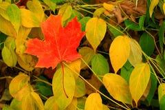 Ein einzelnes rotes Ahornblatt, in seinem ganzem Herbstruhm, wie er auf dem Waldfußboden liegt, der Winter erwartet. Stockfotografie