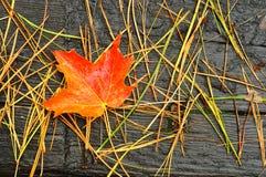Ein einzelnes rotes und orange Ahornblatt Lizenzfreie Stockfotos