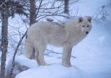 Ein einziger arktischer Wolf scannt seine Winterwelt Stockfoto