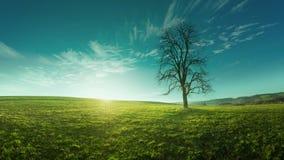 Ein einziger Baum auf einer Wiese bei Sonnenaufgang, idyllische, fabelhafte Landschaften Stockbild