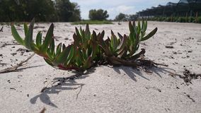 Ein einziger ein Sonnenbad nehmender Succulent in einem Meer des Sandes lizenzfreies stockbild
