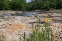 Ein einziger gelber Gänseblümchenzierpflanzenbau neben einem Fluss in der Sommerzeit Stockbilder