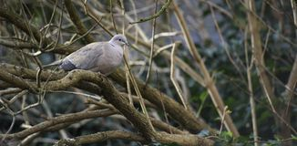 Ein einziger grauer Taubenvogel, der auf einem Baumast während des Tages sitzt Stockfotos