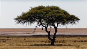 Ein einziger Kameldornenbaum, Nationalpark Etosha lizenzfreie stockbilder