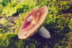 Ein einziger Pilz, der im Moos wächst stockfoto