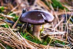 Ein einziger Pilz, der im Moos wächst stockfotos