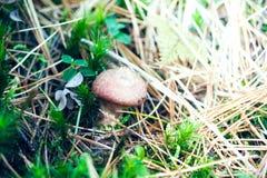 Ein einziger Pilz, der im Moos wächst lizenzfreies stockfoto