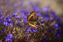 Ein einziger Schmetterling auf einer blauen Blume lizenzfreie stockfotos
