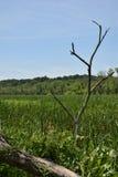 Ein einziger toter Baum im Vordergrund mit einem Reed-gefüllten Sumpf hinten Lizenzfreie Stockfotografie