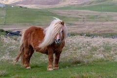 Ein einziges die Shetlandinseln-Pony geht hinunter eine einspurige Straße auf einem Scottish festmachen stockfotos