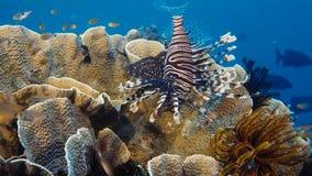 Ein einziges rotes Firefish-turkeyfish, violationswhile Jagd Löwefische Pterois über einem tropischen Korallenriff, Papua Niugini stockbilder