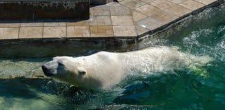 Ein Eisbär Lizenzfreie Stockbilder