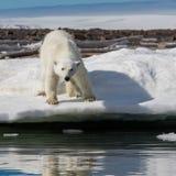 Ein Eisbär steht auf einem schneebedeckten Strand nahe dem Wasser Stockbilder
