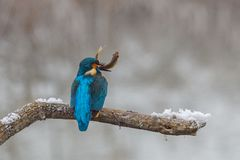Ein Eisvogel, der auf einem Baumast mit Fischen in seinem Schnabel nach einem erfolgreichen Fischen sitzt stockbilder