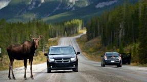 Ein Elch auf Kanadier Rocky Mountains lizenzfreies stockfoto