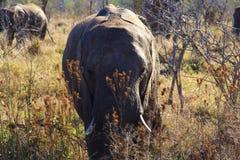 Ein Elefant Stockfotos