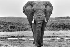 Ein Elefant am addo Elefantpark Stockfoto