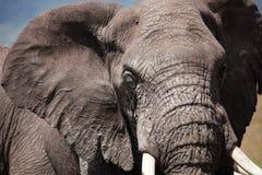 Ein Elefant in Afrika Stockfotografie