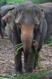 Ein Elefant, der am Pinnawala-Elefant-Waisenhaus, Sri Lanka isst Stockfotografie