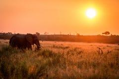 Ein Elefant, der während des Sonnenuntergangs geht lizenzfreies stockfoto