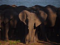 Ein Elefant in einer Herde Lizenzfreies Stockfoto
