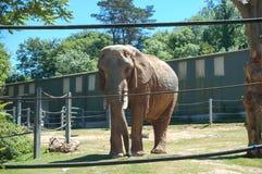 Ein Elefant im Paignton-Zoo, Paignton, Devon, Großbritannien Lizenzfreies Stockfoto