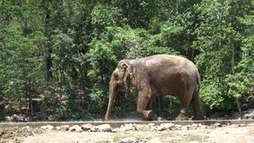 Ein Elefant kühlt unten in Thailand ab stock video footage