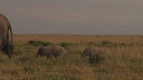 Ein Elefant mit zwei Babys stock video footage