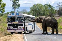 Ein Elefant, Wartemitteilungsblätter des Lebensmittels vom Führen von Fahrzeugen, blockiert die Straße nahe Kataragama in Sri Lan stockbilder