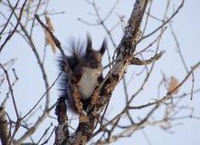 Ein elfenbeinfarbenes Eichhörnchen Lizenzfreie Stockfotografie