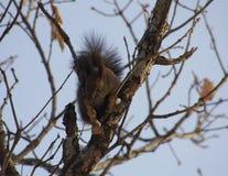 Ein elfenbeinfarbenes Eichhörnchen Lizenzfreie Stockfotos