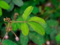 Ein empfindliches zusammengesetztes Blatt von Mimose pudica - Schamhafte Sinnpflanze, Schandanlage lizenzfreie stockfotos