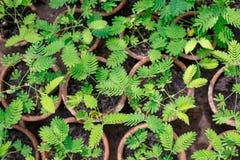Ein empfindliches zusammengesetztes Blatt von Mimose pudica - Schamhafte Sinnpflanze, Schandanlagen in den T?pfen lizenzfreies stockfoto