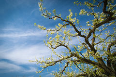 Ein emporkommender Birnenbaum Lizenzfreie Stockfotografie