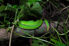 Ein Endstück der grünen Schlange auf dem Baum Stockbild
