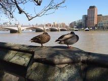 Ein Entenpaar Lizenzfreies Stockfoto