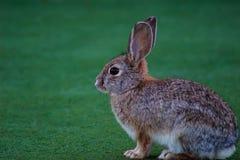 Ein entspannendes Kaninchen Stockfotografie