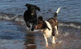 Ein entzückender englischer Springer-Spanielhund und ein nettes Neufundland verfolgen den Welpen und spielen im Meer in Schottlan Stockfotos
