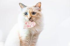 Ein entzückendes Foto einer Weiß- u. Ingwerkatze, die ein Herz hält Lizenzfreies Stockfoto