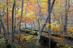 Ein erhöhter hölzerner Weg, der durch den bunten Herbstwald überschreitet Stockfotografie