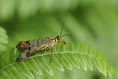 Ein erstaunliche männliche Skorpions-Fliege Panorpa communis Hocken auf einem Adlerfarnblatt im Waldland Lizenzfreie Stockbilder
