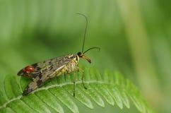 Ein erstaunliche männliche Skorpions-Fliege Panorpa communis Hocken auf einem Adlerfarnblatt im Waldland Stockbilder