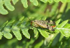 Ein erstaunliche männliche Skorpions-Fliege Panorpa communis Hocken auf einem Adlerfarnblatt im Waldland Lizenzfreie Stockfotos